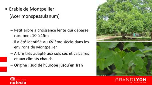 érable de Montpellier