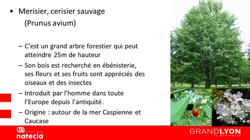 merisier sauvage